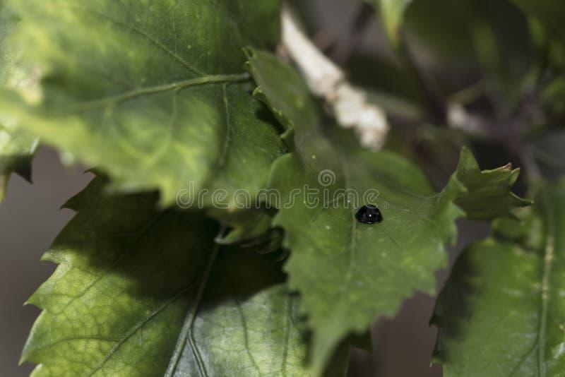 走动本质上的黑瓢虫 详细的特写镜头 免版税图库摄影