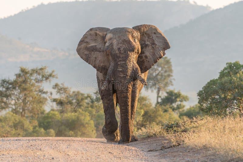 走向在路的照相机的泥隐蔽的非洲大象 免版税库存照片