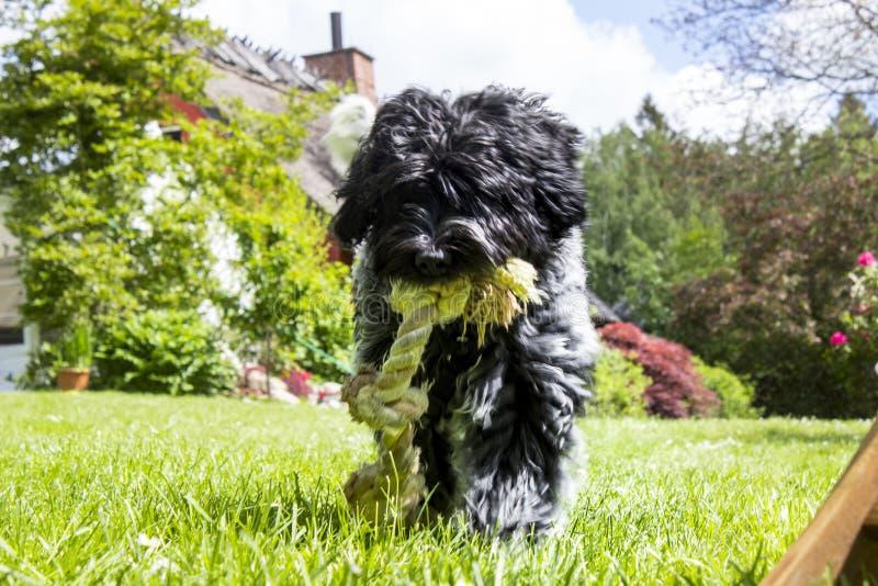 走向有绳索的屏幕的Schapendoes小狗 免版税库存照片