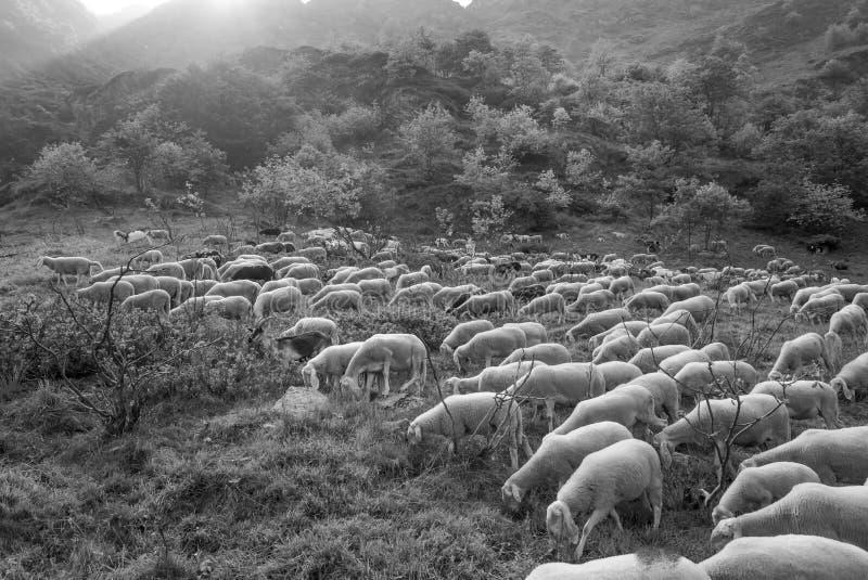 走和吃在牧场地的绵羊紧凑群  库存照片