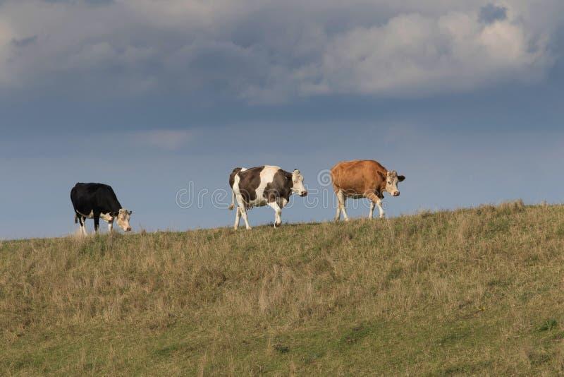 走和吃草在河岸顶部的三头母牛 免版税库存照片