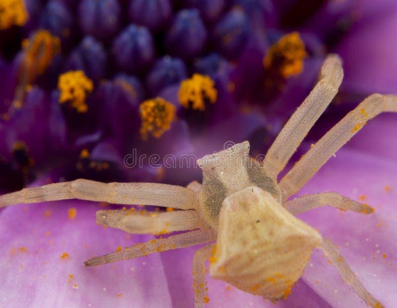 走和摆在一朵桃红色花的黄色Tomisidae Onostus蜘蛛 库存照片