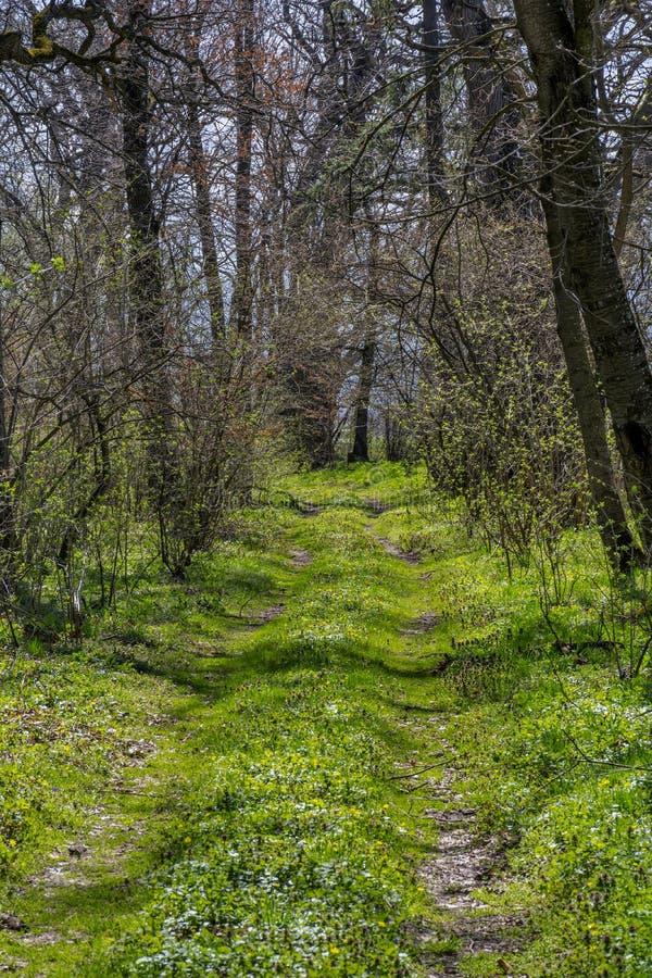 走和远足与高大的树木的森林地路在早期的春天 免版税库存图片