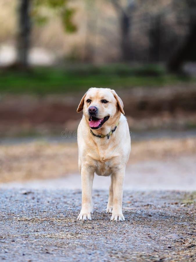 走在一个公园的拉布拉多猎犬 库存照片