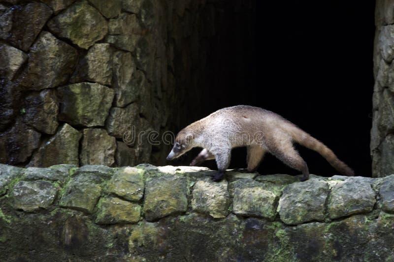 走在一个石墙上的浣熊 库存图片