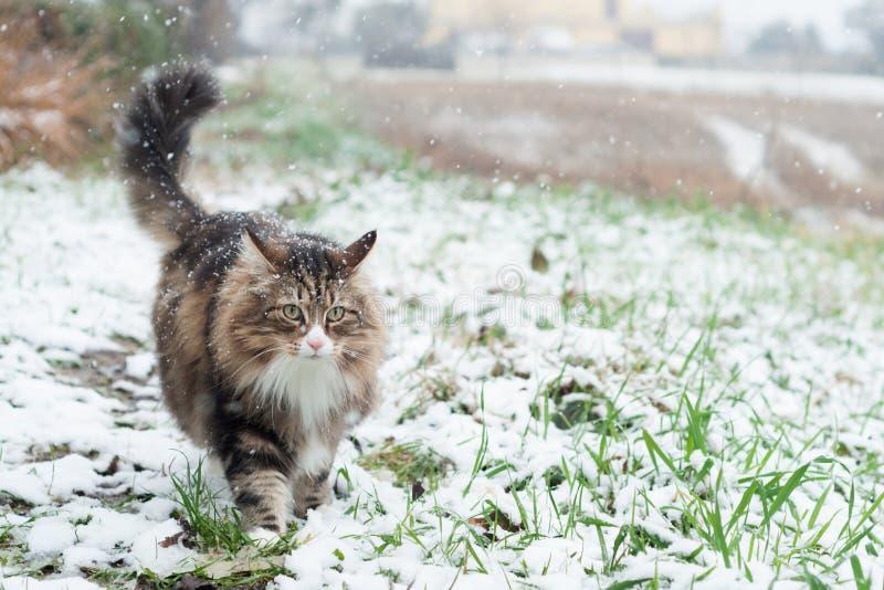 走在一个积雪的领域的挪威森林猫 库存照片