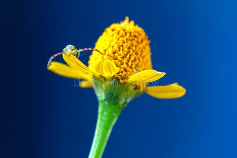 走在一朵黄色野花的螃蟹蜘蛛 免版税库存照片