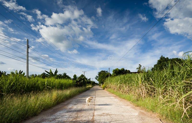 走在一条街道上的白色狗在一个乡村 免版税库存照片