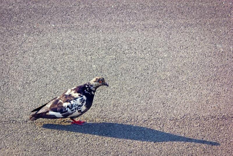 走在一条被铺的道路的鸽子在公园 城市走沿灰色铺路板的鸟鸽子晴朗的夏日 库存照片