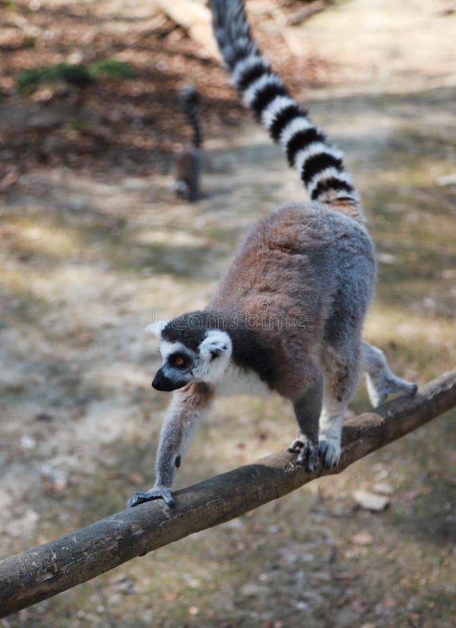 走在与一条被上升的尾巴的一个木分支的孤独的狐猴 走沿木篱芭的环纹尾的狐猴 图库摄影