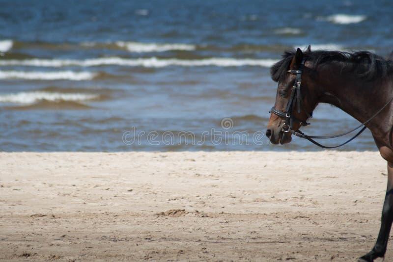 走在与沙子和海的海滩的黑马 免版税库存图片