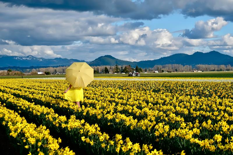 走在与黄色伞的黄水仙领域的妇女 图库摄影
