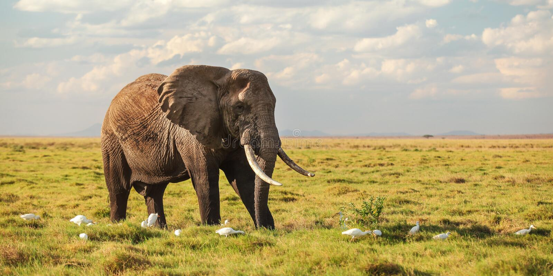 走在低大草原草,在它的腿的白色苍鹭鸟的非洲灌木大象非洲象属africana 宽横幅,徒步旅行队 免版税库存照片