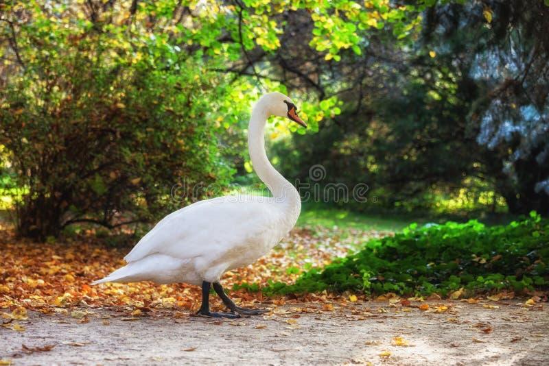 走在公园的天鹅 免版税图库摄影