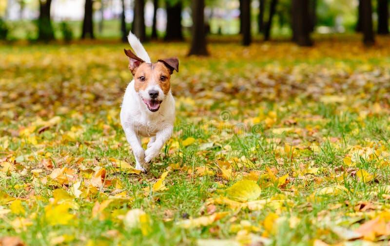 走在公园的愉快的狗金黄秋天天 免版税库存图片
