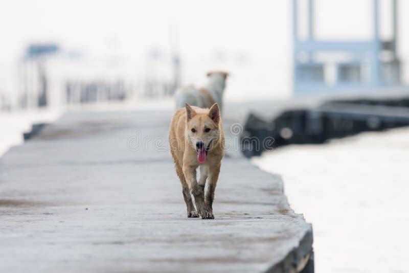 走在具体桥梁的布朗狗 库存图片