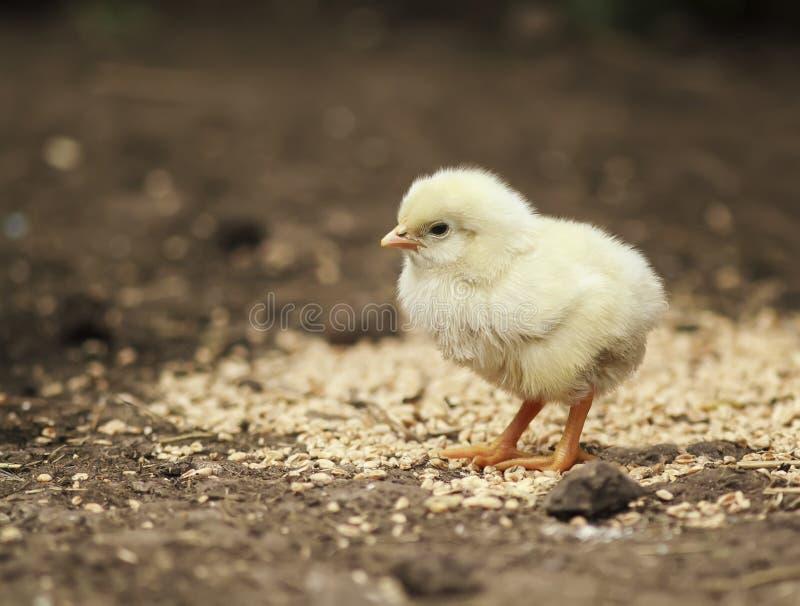 走在农场附近的仓库广场滑稽的小的鸡 图库摄影