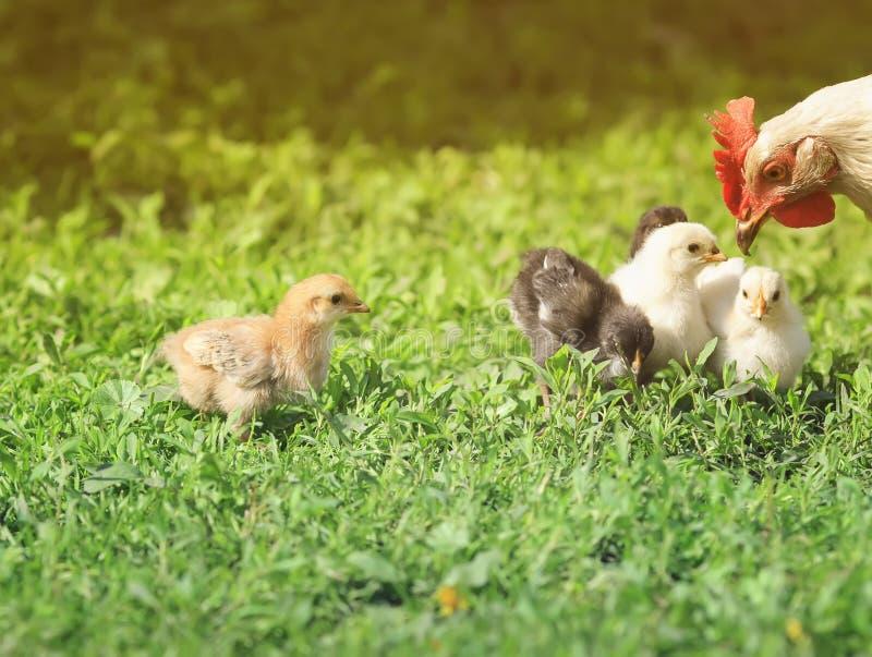 走在农场附近的仓库广场滑稽的小的鸡 库存图片