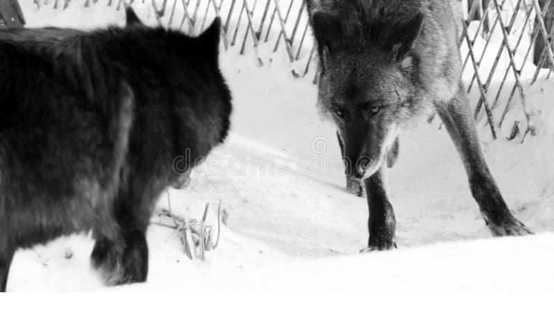 走在冬天雪的黑狼天狼犬座 库存图片
