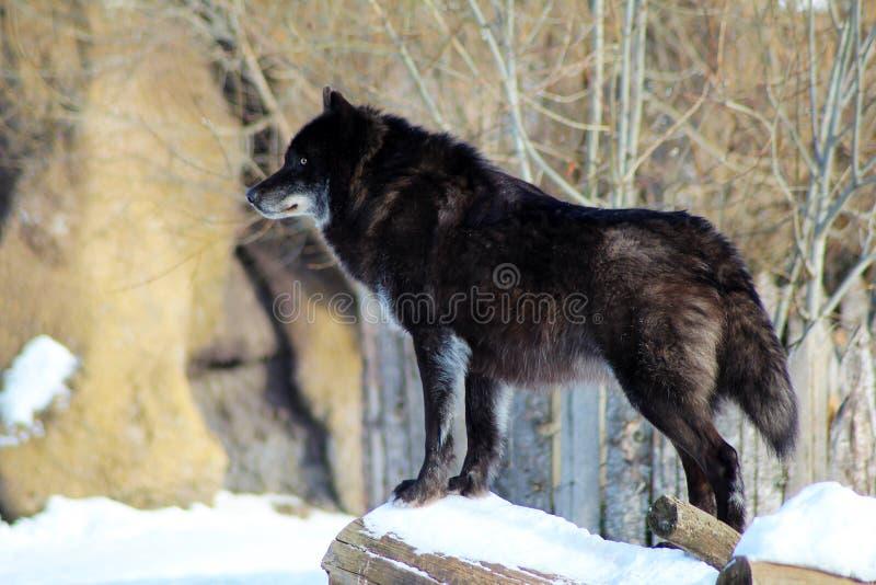 走在冬天雪的黑狼天狼犬座 免版税图库摄影
