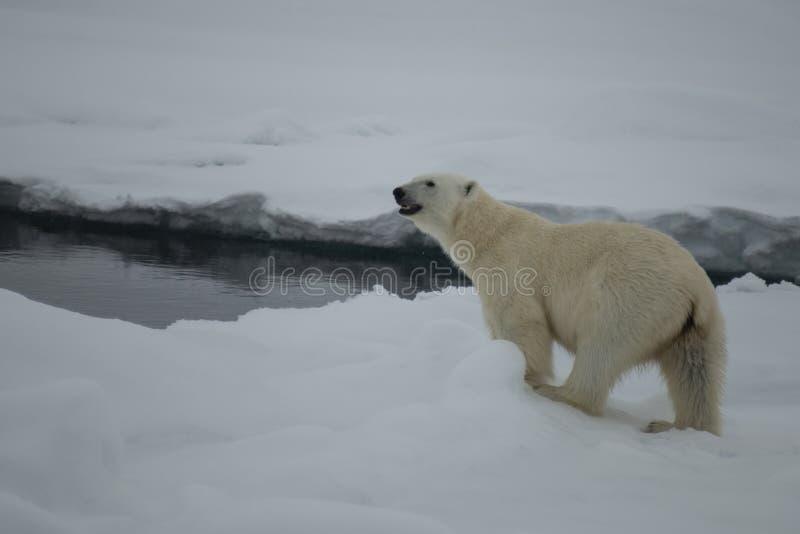 走在冰的北极熊在北极 库存图片