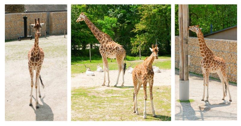 走在动物园里的美丽的长颈鹿拼贴画  免版税库存图片