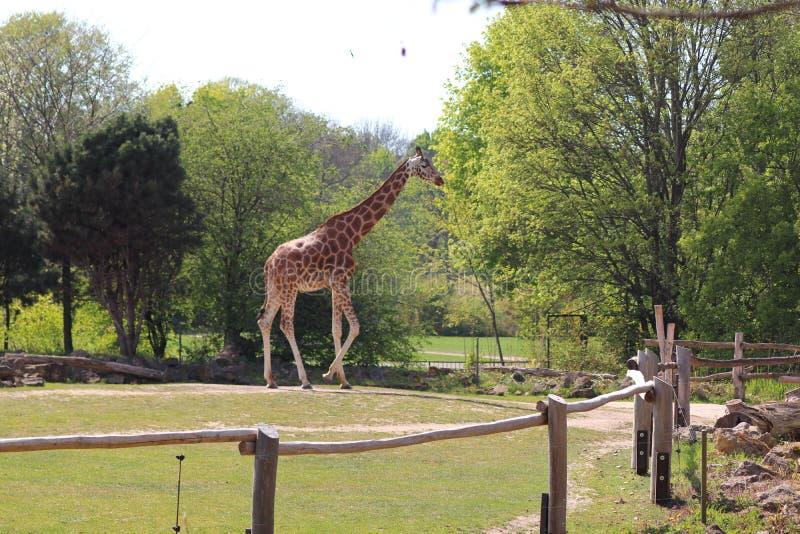 走在动物园里的长颈鹿和斑马在德国 库存照片