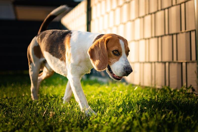 走在后院的小猎犬狗 库存照片