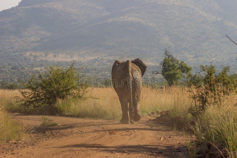 走在多灰尘的路的非洲大象 免版税库存照片