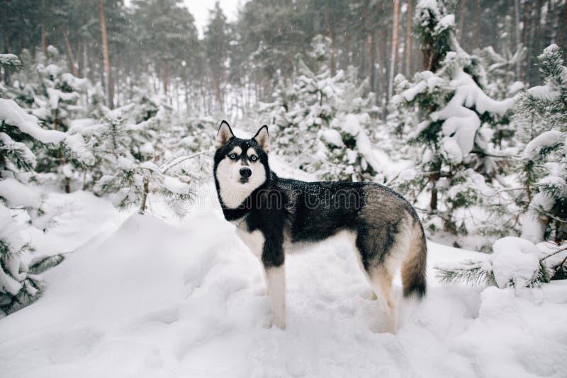 走在多雪的冬天杉木森林里的西伯利亚爱斯基摩人狗 免版税图库摄影