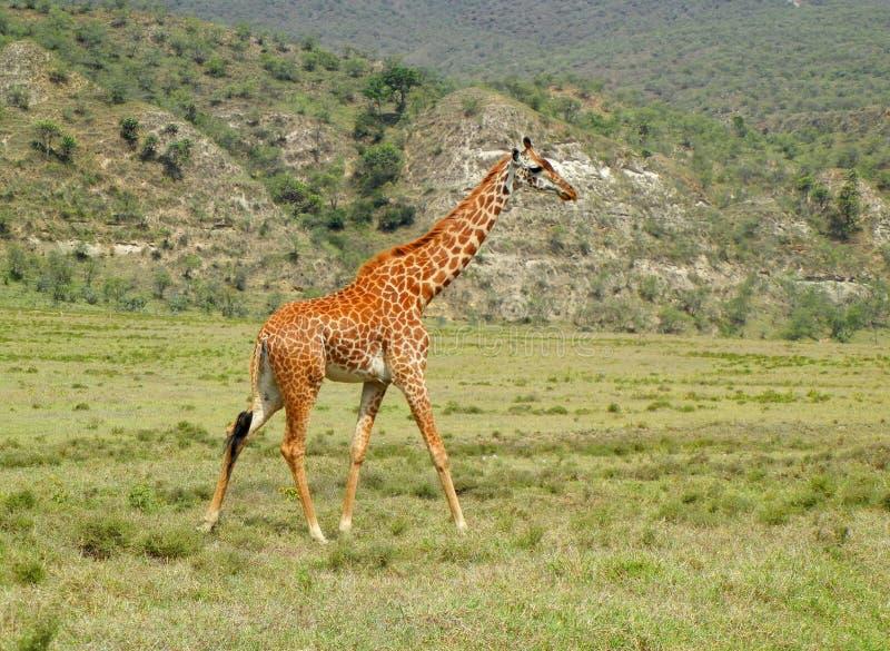 走在大草原的长颈鹿 免版税库存照片