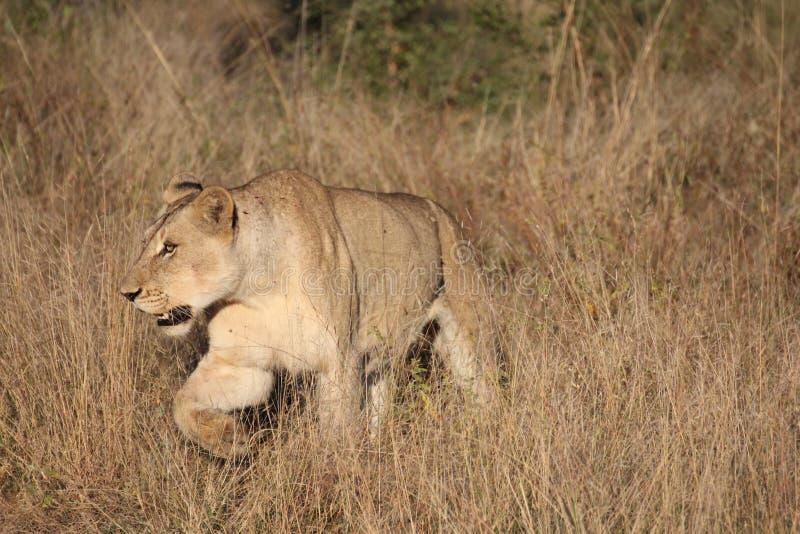 走在大草原的雌狮 库存图片