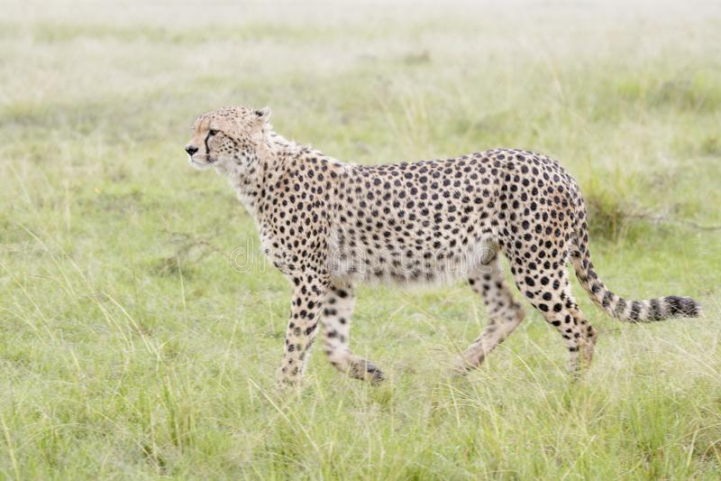 走在大草原,马塞语玛拉,肯尼亚的猎豹 库存照片