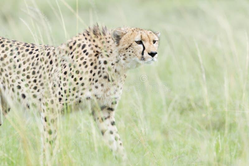 走在大草原,马塞语玛拉,肯尼亚的猎豹 免版税库存图片