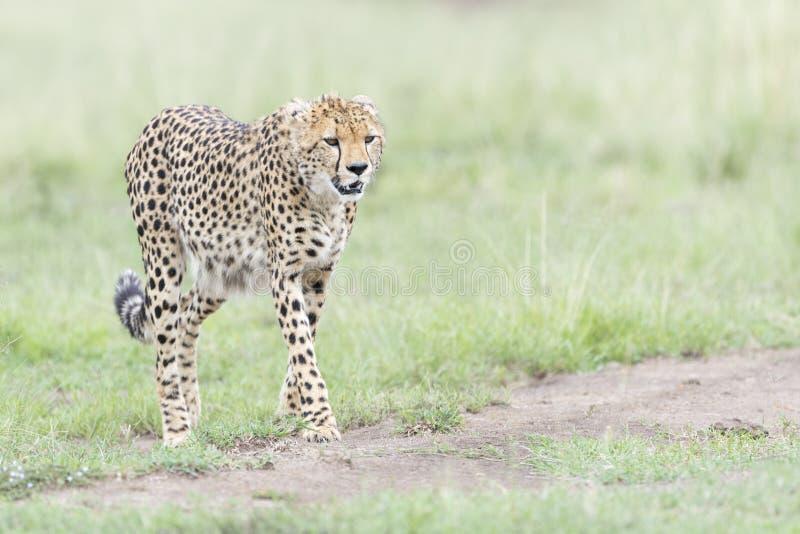 走在大草原,马塞语玛拉,肯尼亚的猎豹 库存图片