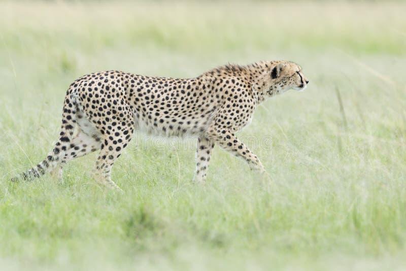 走在大草原,马塞语玛拉,肯尼亚的猎豹 免版税库存照片