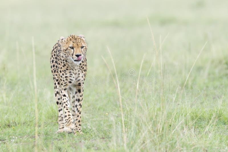 走在大草原,马塞语玛拉,肯尼亚的猎豹 图库摄影
