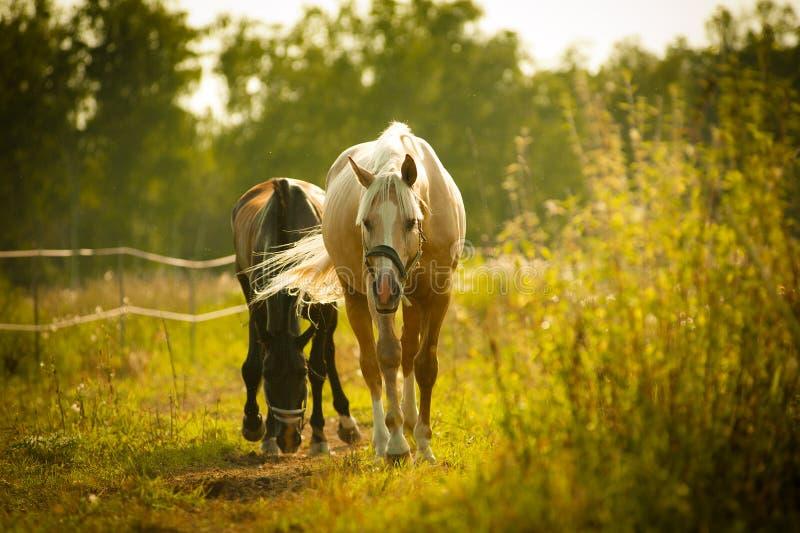 走在小牧场的马 库存图片
