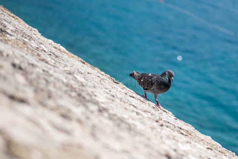 走在峭壁的鸽子在海附近 库存图片