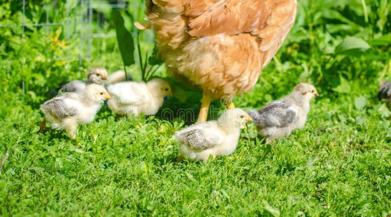 走在庭院里的逗人喜爱的小鱼苗小鸡 库存图片