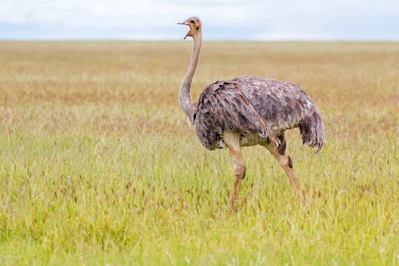 走在开放草原的母非洲驼鸟鸟在塞伦盖蒂国家公园在坦桑尼亚,非洲 图库摄影