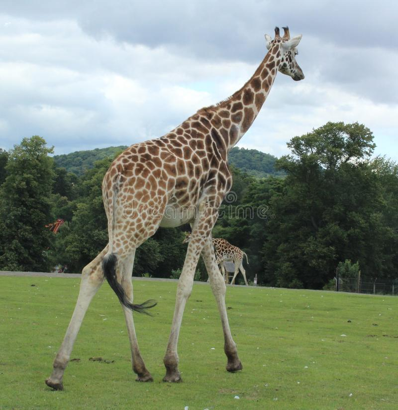 走在徒步旅行队公园的长颈鹿 库存照片