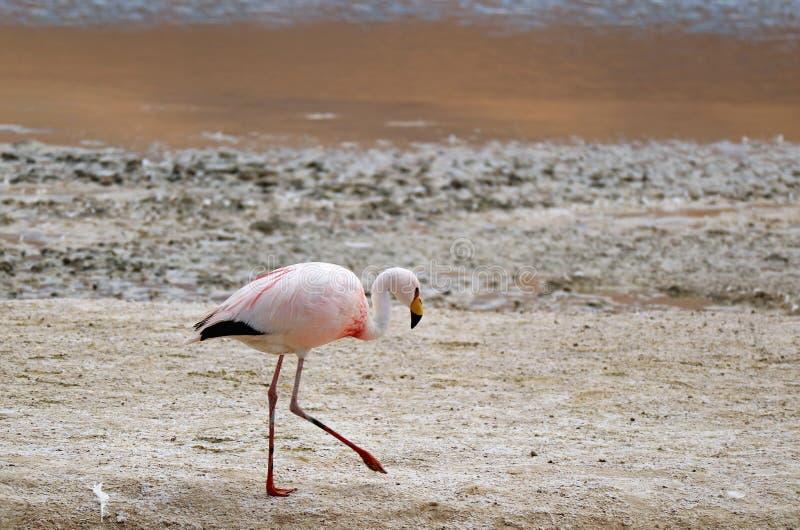 走在拉古纳Hedionda,安地斯山的阿尔蒂普拉诺高原的,波托西,玻利维亚,南美洲盐湖岸的詹姆斯的火鸟  免版税库存照片