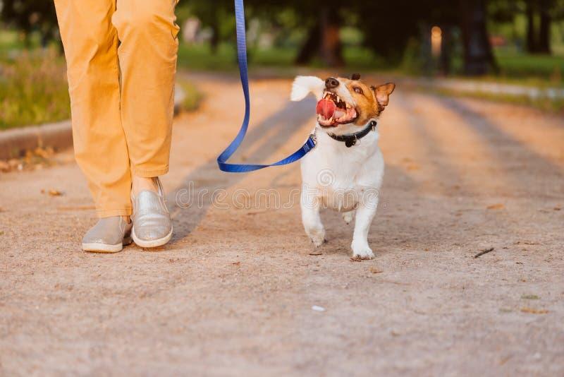 走在有妇女的皮带的愉快的狗在晚上公园在日落期间 免版税图库摄影