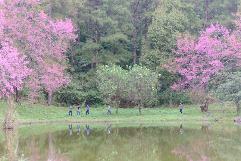 走在有樱花树的在冬天, Chiangmai,泰国池塘附近的旅客 免版税库存图片
