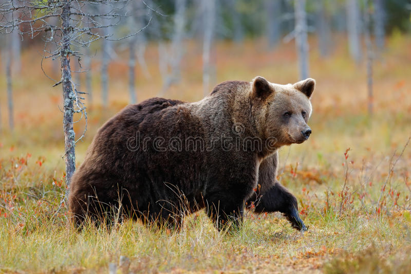 走在有秋天颜色的湖附近的美丽的大棕熊 危险动物在自然森林和草甸栖所里 野生生物s 免版税图库摄影