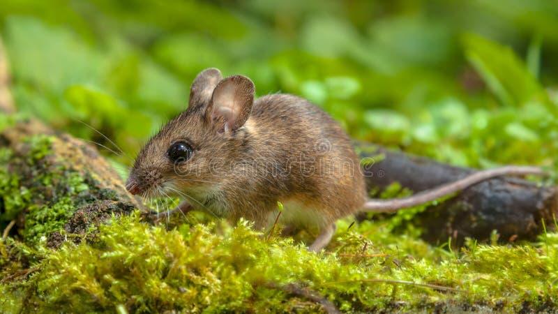 走在森林地板上的逗人喜爱的木老鼠 免版税库存照片
