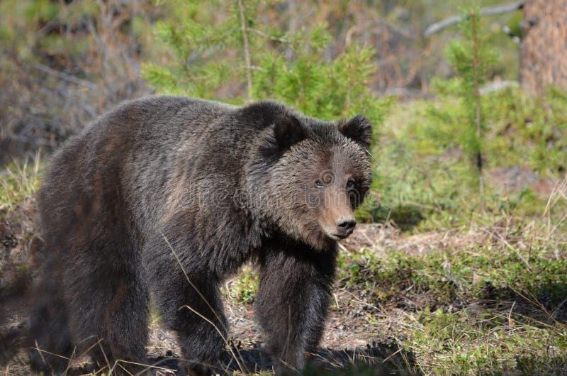 走在森林里的北美灰熊年轻成人 图库摄影