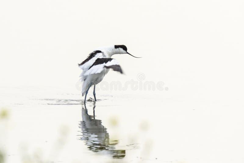走在水中的染色长嘴上弯的长脚鸟水鸟Recurvirostra avosetta 免版税库存照片