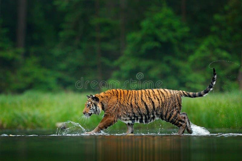 走在水中的阿穆尔河老虎 危险动物, tajga,俄罗斯 在绿色森林小河的动物 灰色石头,河小滴 Siberi 免版税库存图片